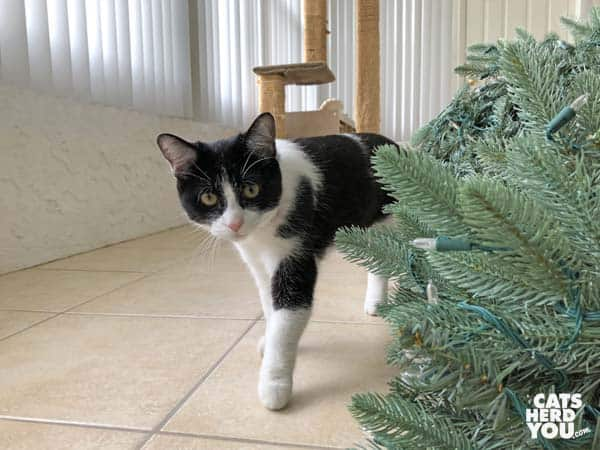 black and white tuxedo kitten  inspects artificial tree