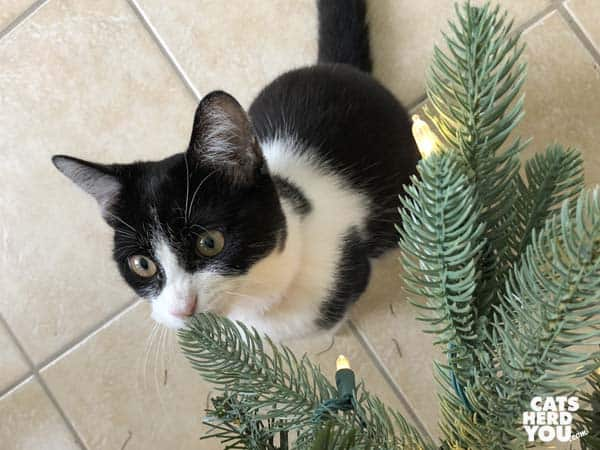 black and white tuxedo kitten nibbles artificial tree