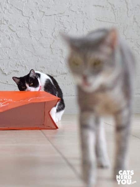 gray tabby cat walks away from black and white tuxedo kitten