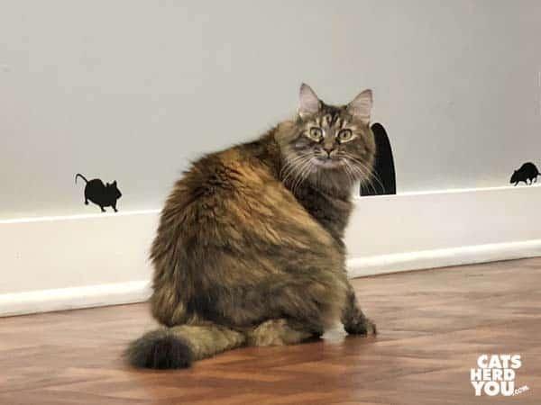 long-haired tortoiseshell-tabby cat