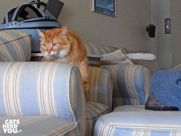 orange tabby cat exits