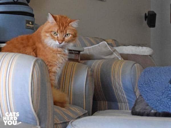 orange tabby cat looks at gray tabby cat's rear end