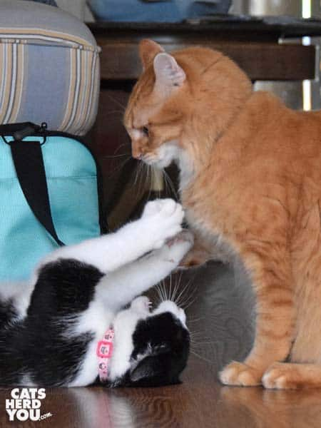 black and white tuxedo cat spars with orange tabby cat