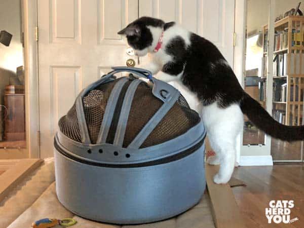 black and white tuxedo kitten looks at orange tabby cat in carrier