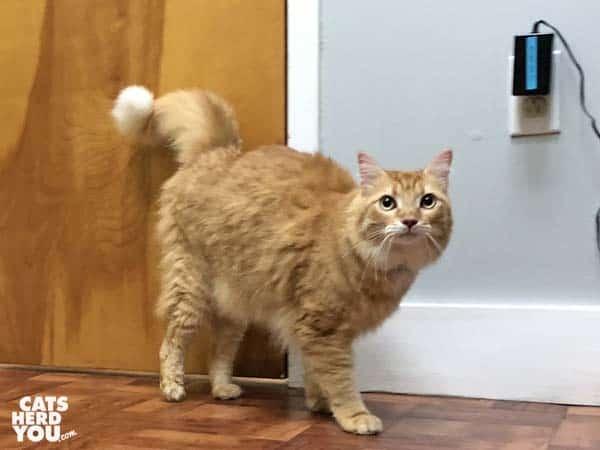 orange tabby cat in front of door