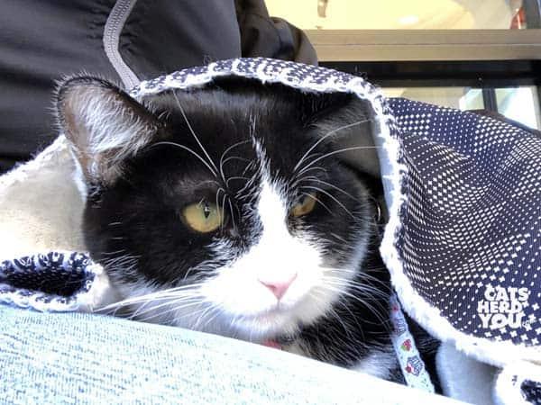 black and white tuxedo cat under blanket