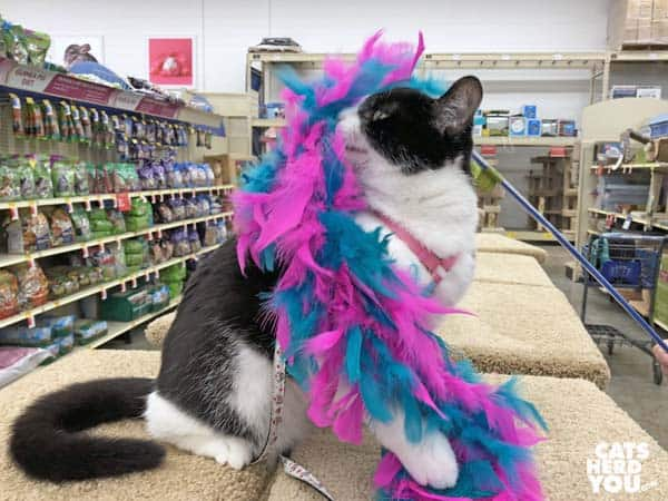 black and white tuxedo catplays with blue and pink feather toy