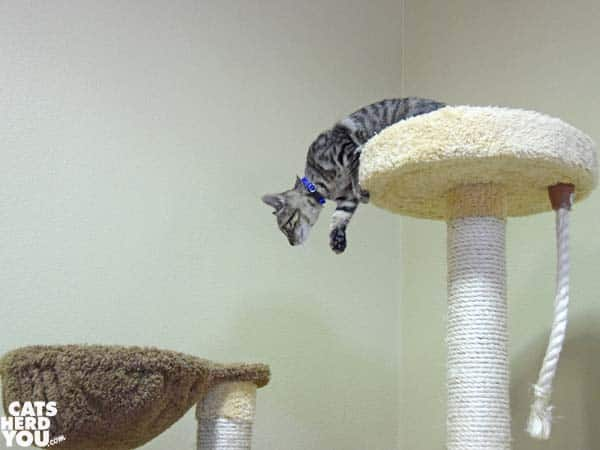 Orlando Cat Cafe brown tabby kitten jumping down