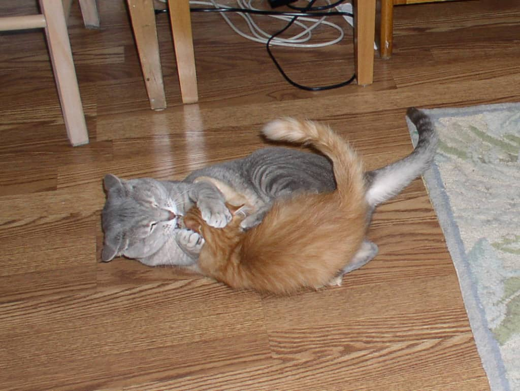Pierre and Newton_Kitten Wrestling