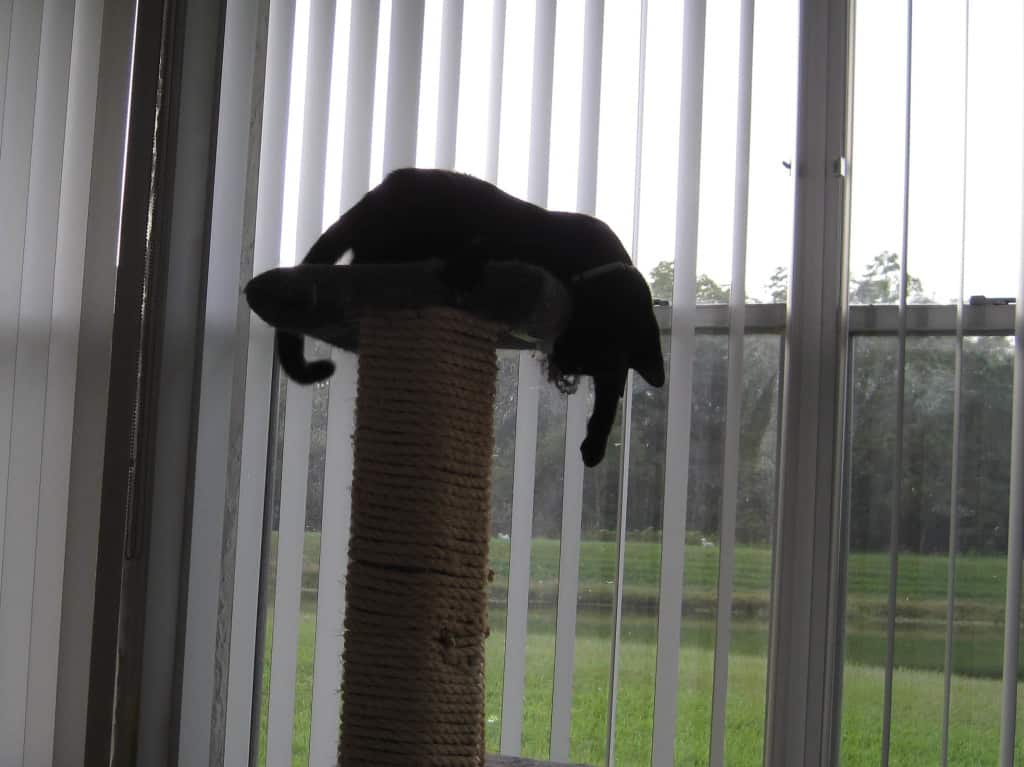 Beau is King of the Cat Tree