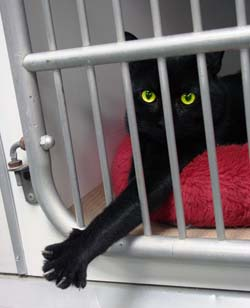black cat in cage at shelter