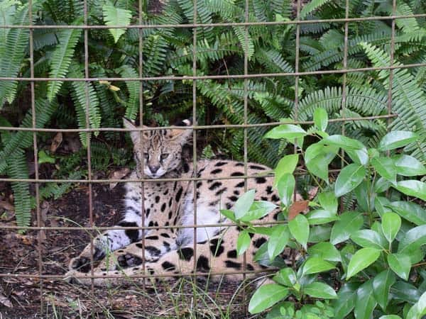 serval and foliage