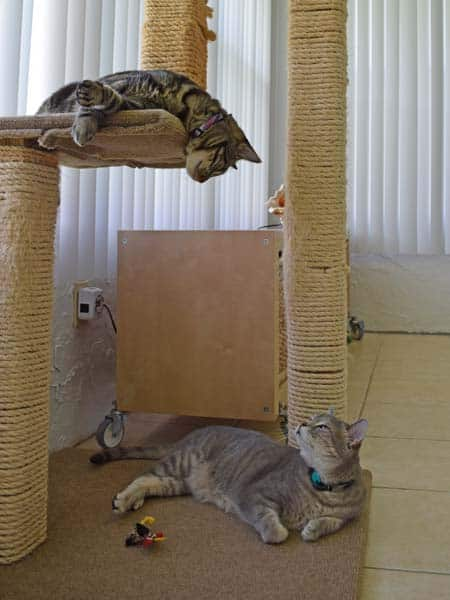 Ashton_and_Pierre_looking_cat_tree_sm