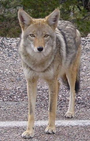 Coyote_arizona
