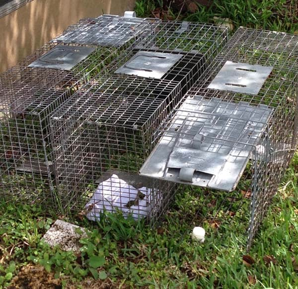 baby raccoons baiting humane traps to catch the mtoher raccoon