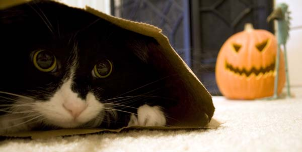 Cat in a bag hiding from jack-o-lantern