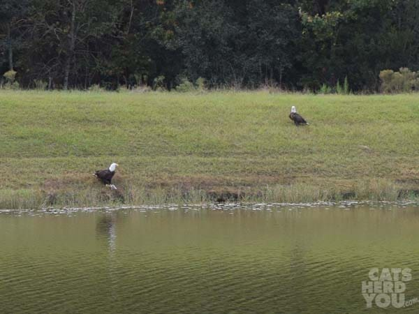 Bad_eagle_two_across_the_pond02_wm