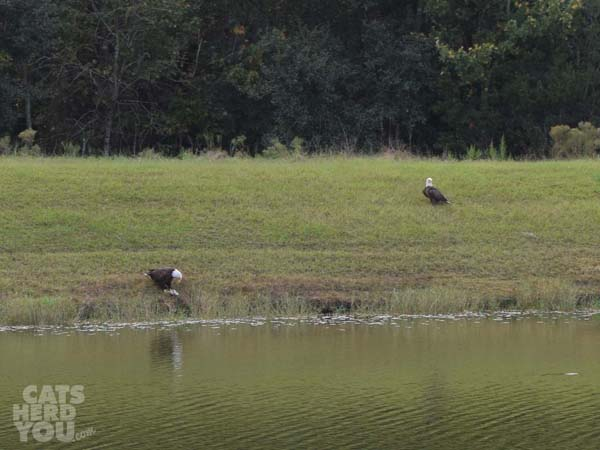 Bald_eagles_two_across_the_pond_wm