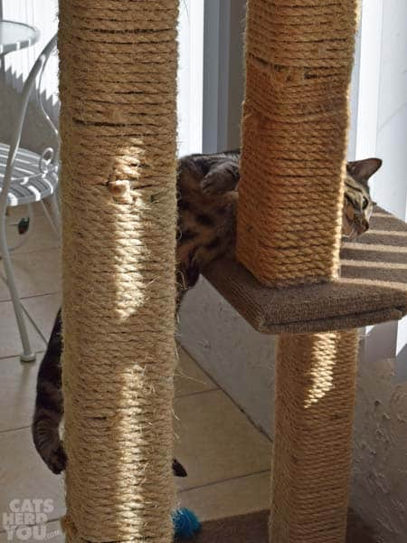 Ashton_climbing_cat_tree_02_wm