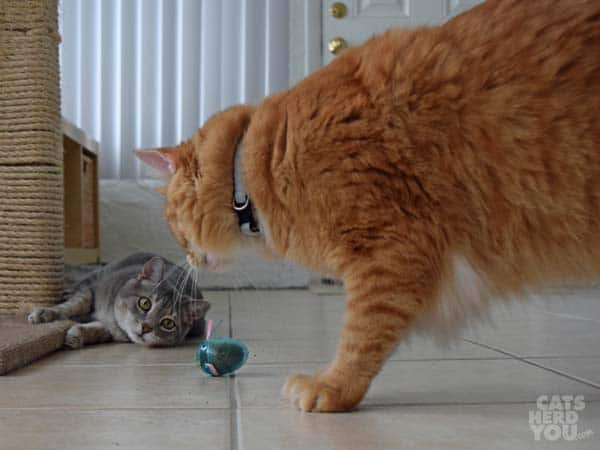 Pierre sees Newton with catnip egg