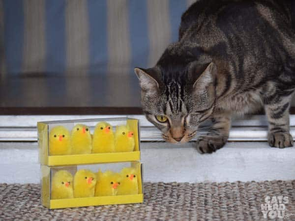 Ashton and the incubator chicks