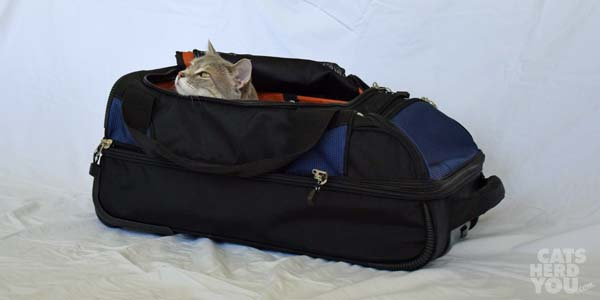 Pierre snuggled down in luggage