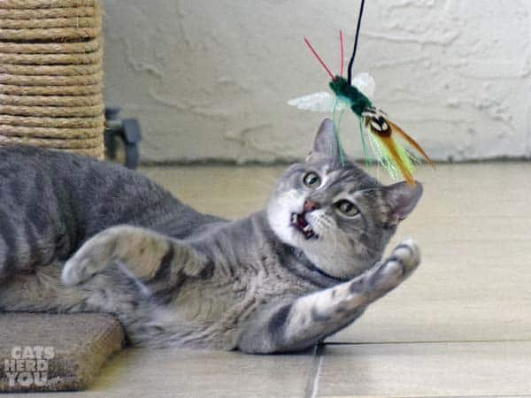 Pierre swats at wand toy