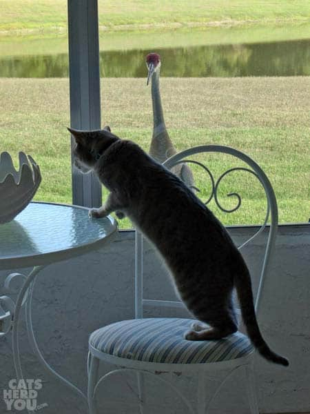 Sandhill crane watches Pierre climb onto table