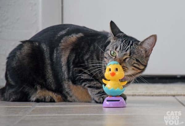 brown tabby cat with dancing chicken