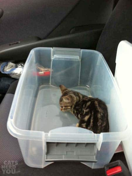 rescued brown tabby kitten in a bin