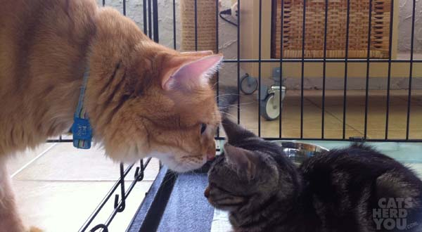 Orange cat sniffs brown tabby kitten