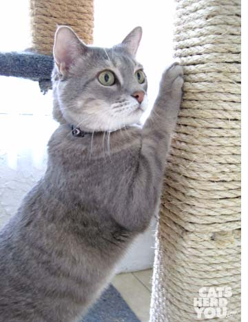 gray tabby cat scratches sisal post