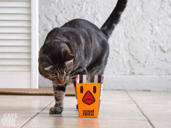 one-eyed brown tabby cat looks at chicken fries box
