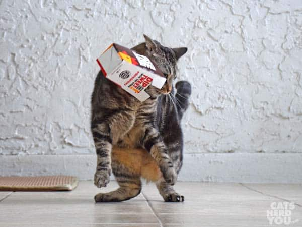 one-eyed brown tabby cat frees herself from chicken fries box