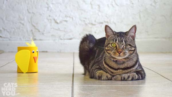 brown tabby cat sits next to funny chicken