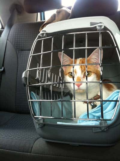 cat in carrier rides in car
