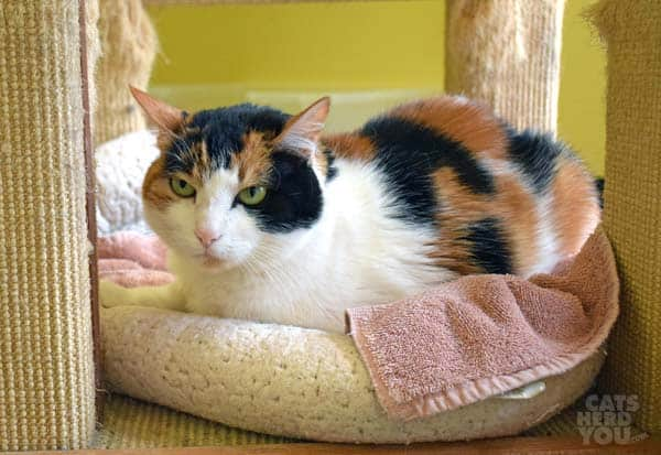 Sasha, a calico cat adoptable from Good Mews Animal Foundation in Atlanta, GA (Marietta)