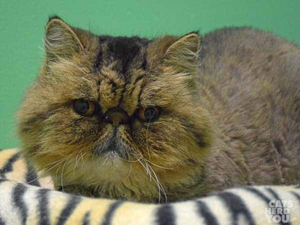 Ruca, a Persian cat adoptable from Good Mews Animal Foundation in Atlanta, GA (Marietta)