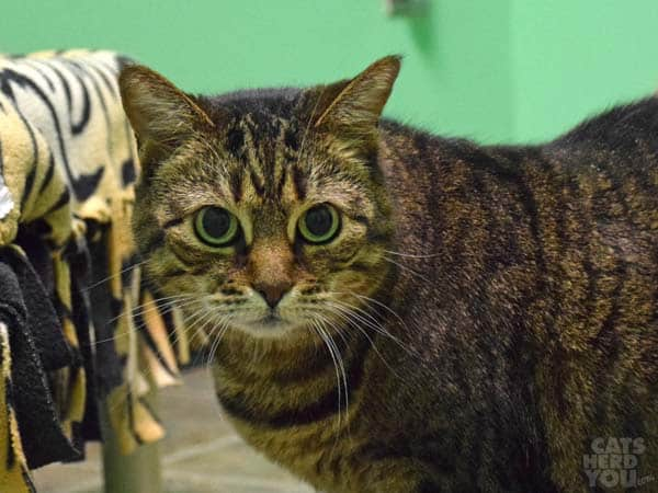 Mona, a brown tabby cat adoptable from Good Mews Animal Foundation in Atlanta, GA (Marietta)