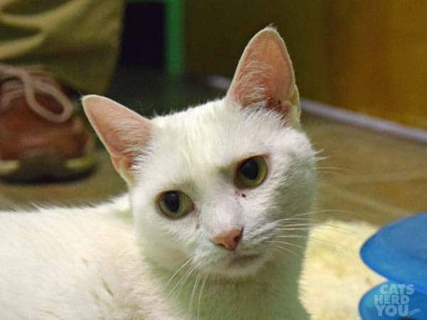 Princess, a white cat adoptable from Good Mews Animal Foundation in Atlanta, GA (Marietta)