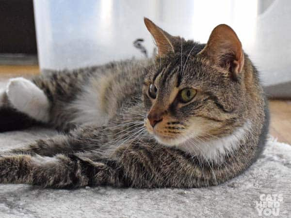 brown tabby cat adoptable from Good Mews Animal Foundation in Atlanta, GA (Marietta)