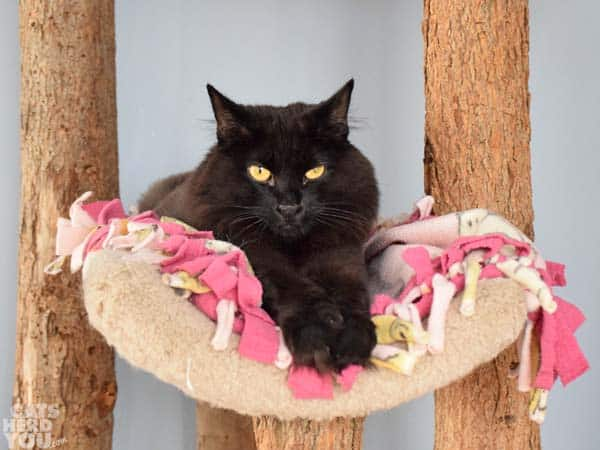Alice, a black cat adoptable from Good Mews Animal Foundation in Atlanta, GA (Marietta)