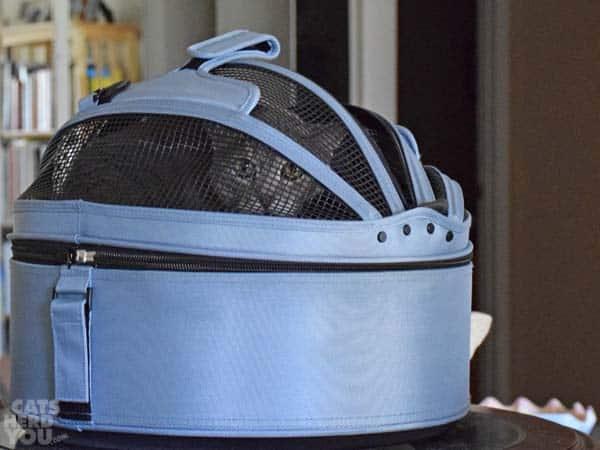silver tabby cat in carrier