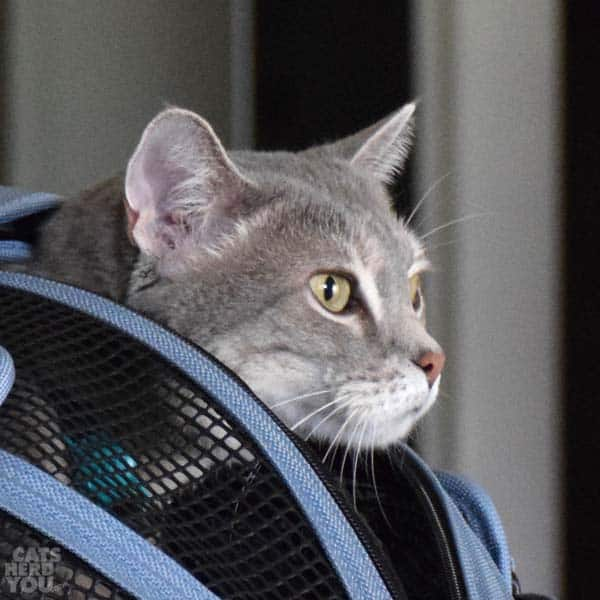 silver tabby cat peeks out of carrier