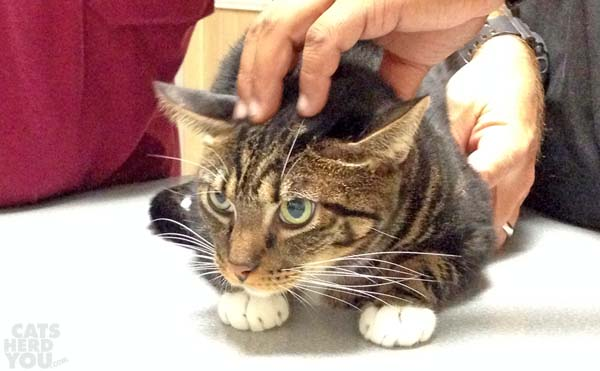 Brown tabby cat being examined at vet's office