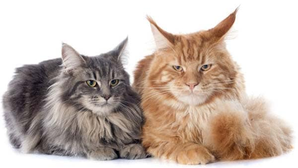 two longhaired cats