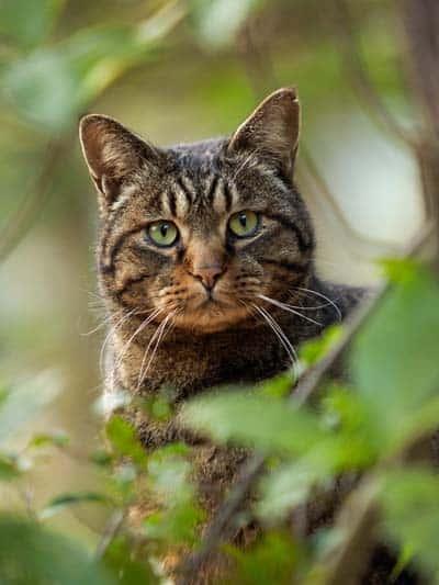 notch-eared stray cat