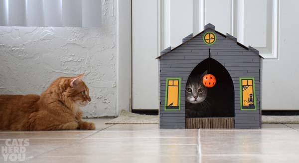 orange tabby cat watched gray tabby cat in haunted house