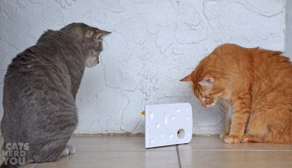 gray tabby cat and orange tabby cat watch the PetSafe Cheese
