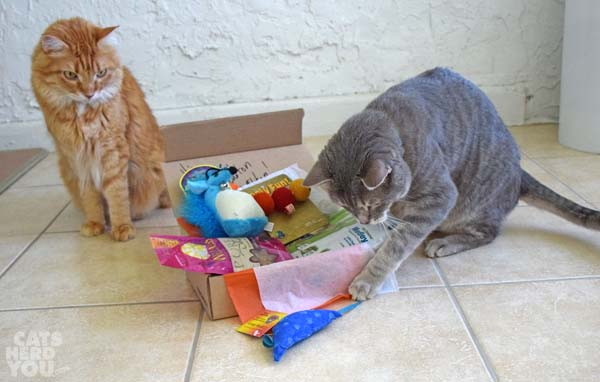 gray tabby cat makes selection from Meowbox as orange tabby cat looks on